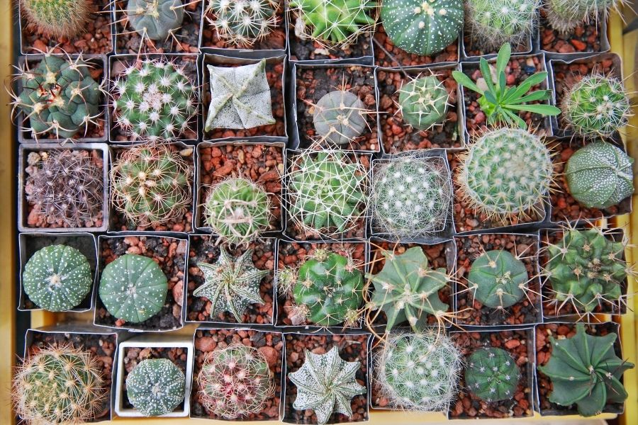 Cactuses in pots, view from above