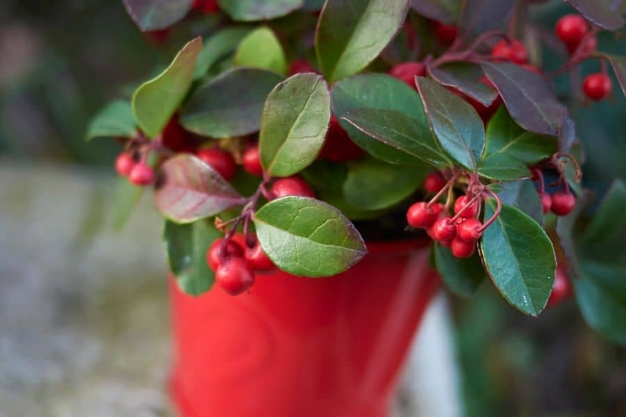 best winter plants for pots