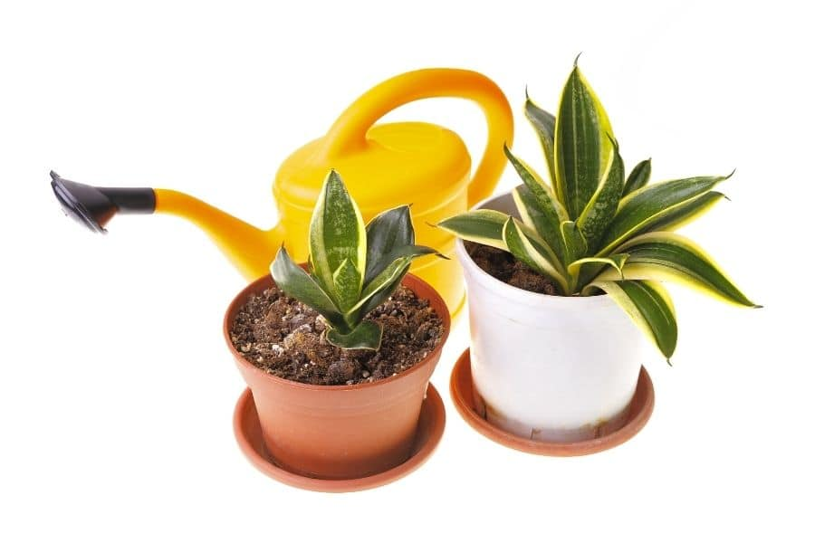 benefits-of-a-snake-plant
