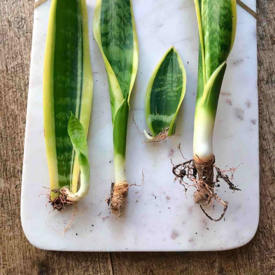 propagate using a rhizom