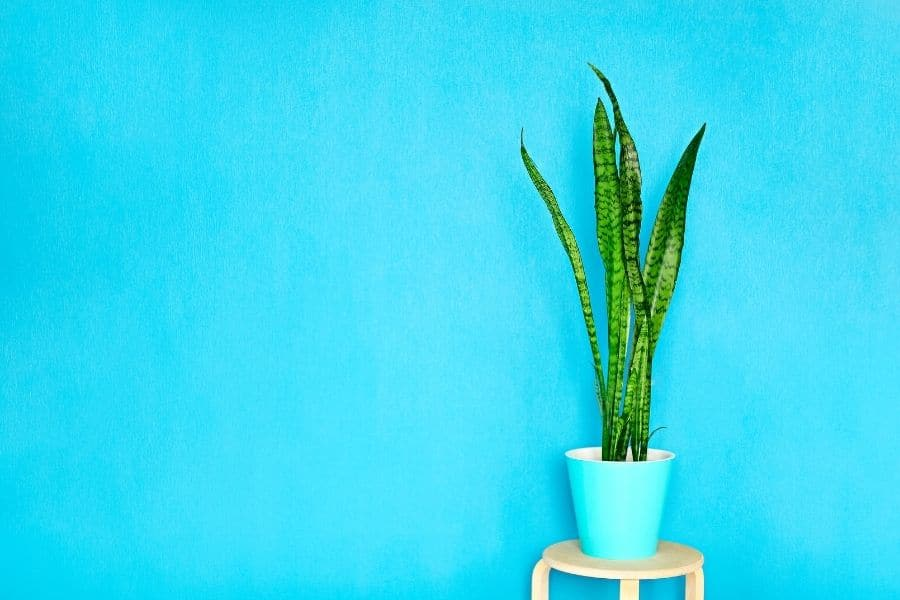 snake plant attention in home decor