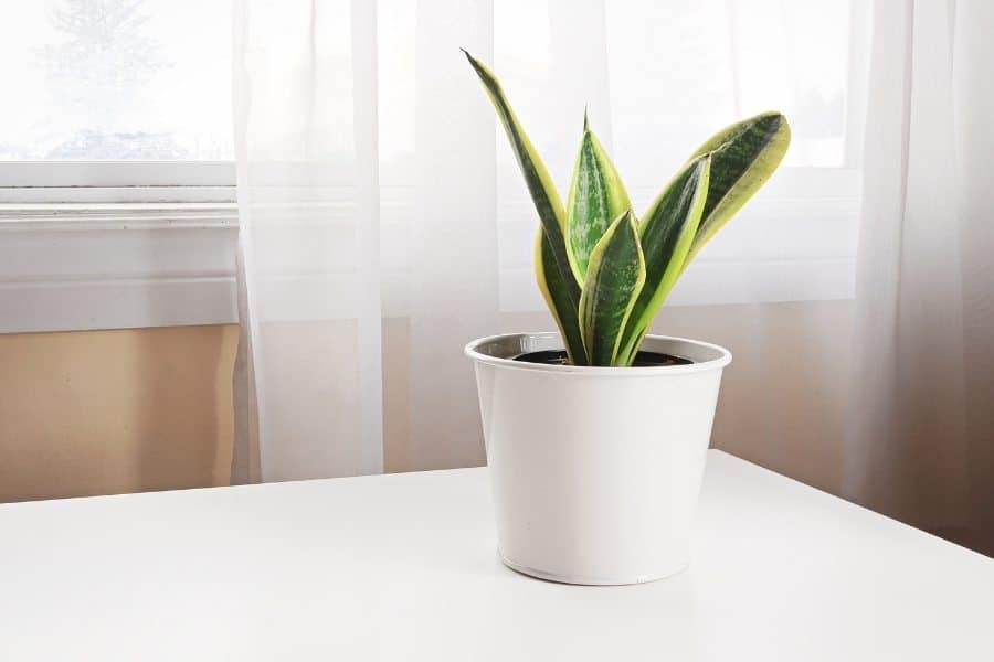 A snake plant on a table beside a window.