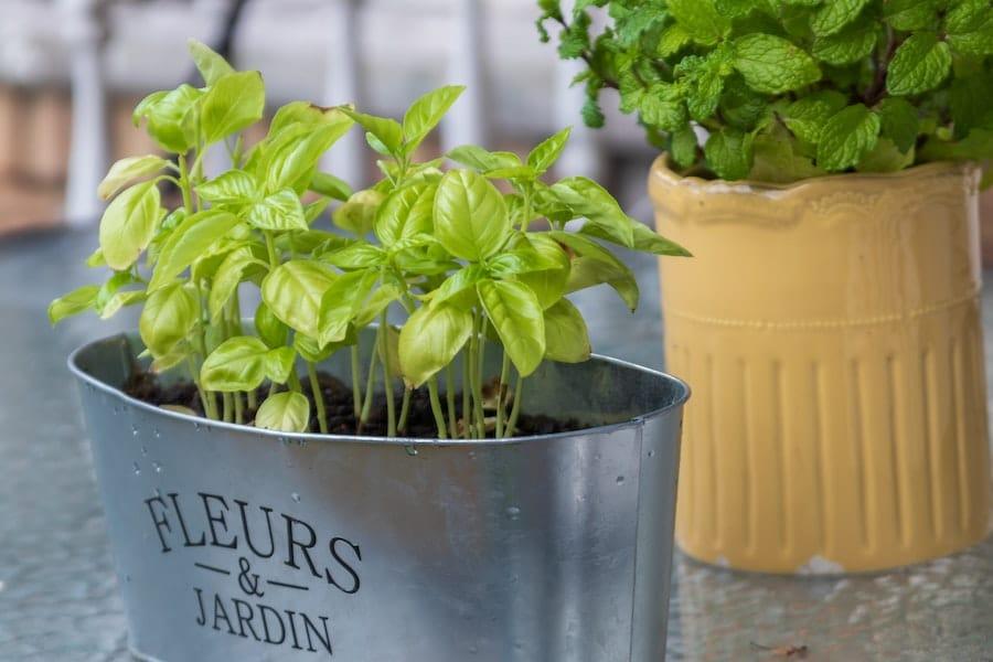 Grwing mint leaves in mental pots