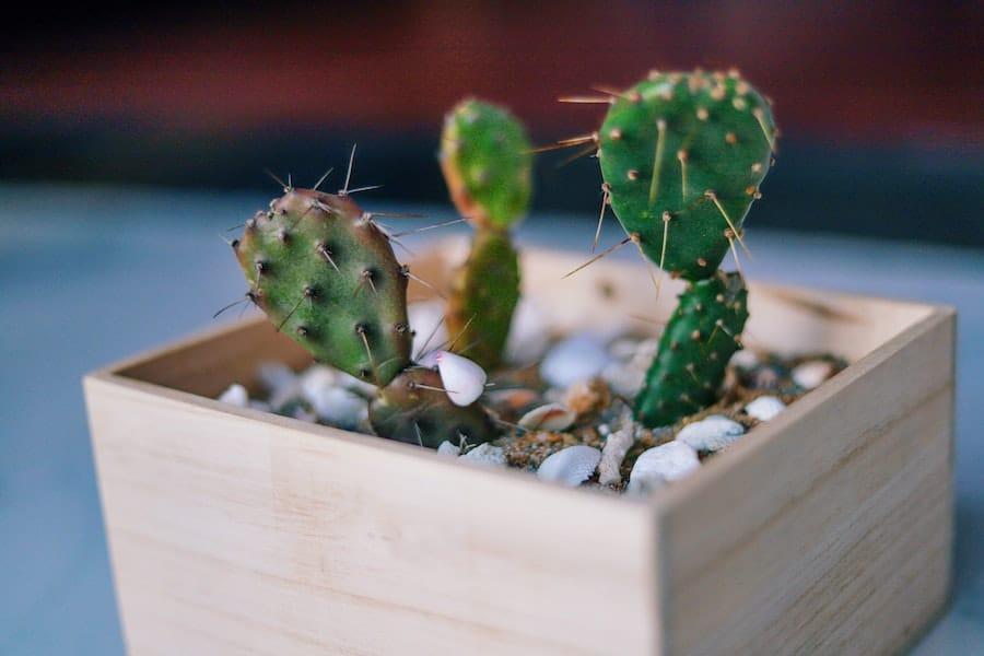 cactus in wood planters
