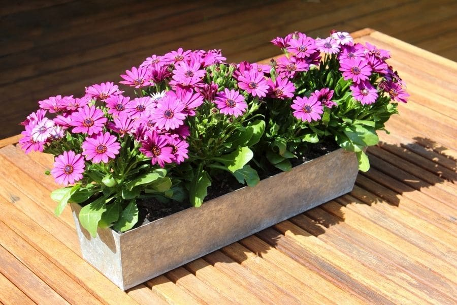 Pink osteospermum flowers in rectangular planter