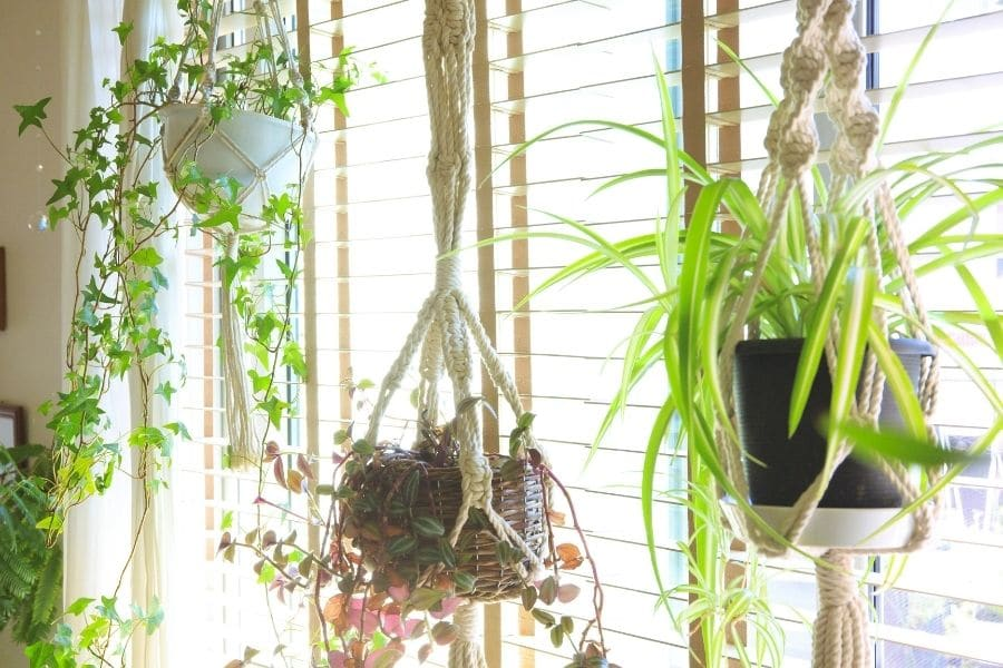 Indoors with green hanging planters of hanging plants