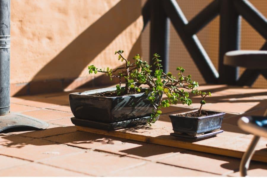 bonsai tree in terrace