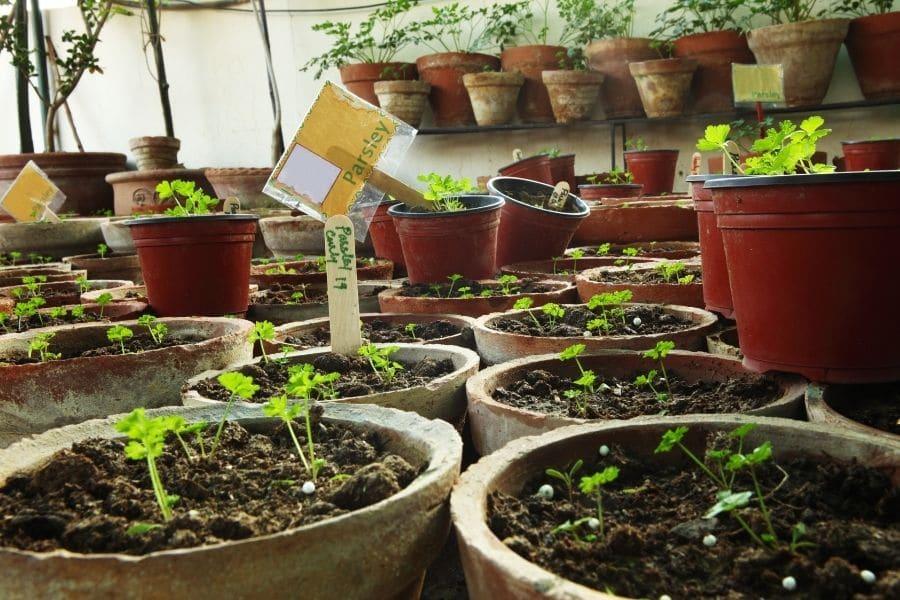 Organic parsley seedling in herbs terrace garden