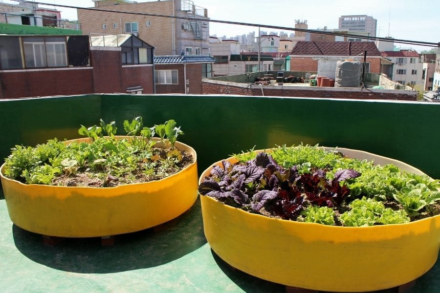 The cultivation of garden plants in the inner city