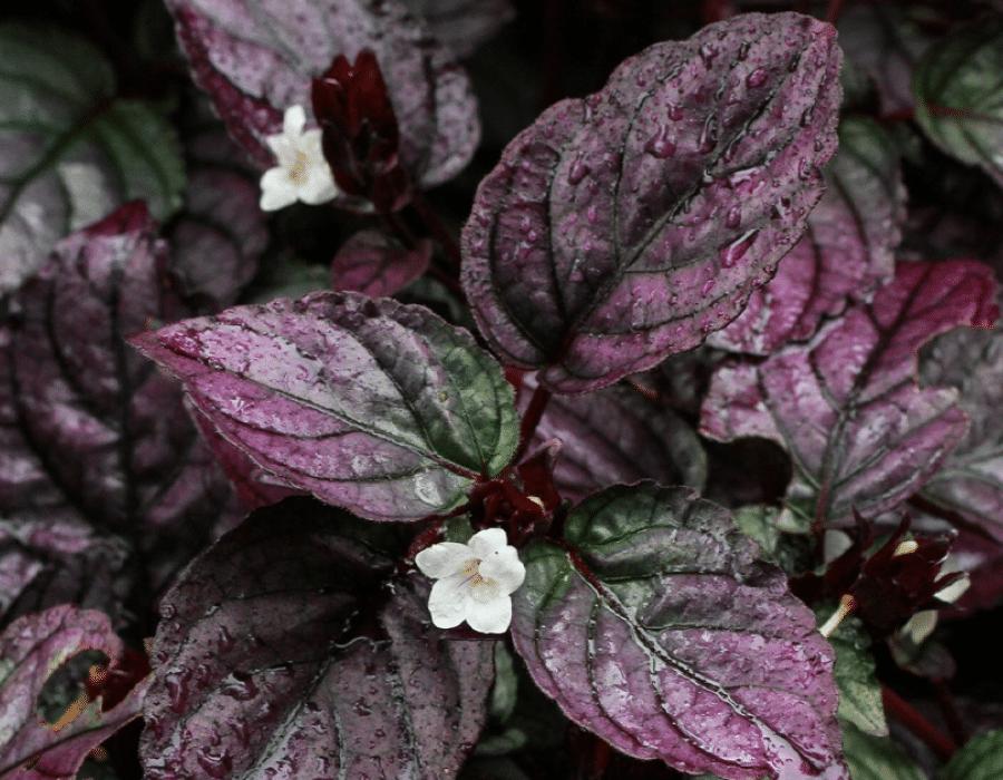 Purple Waffle Flower